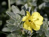 Camissoniopsis cheiranthifolia