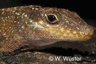 Dominica Anole
