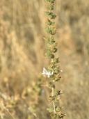 Calycadenia spicata