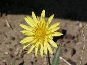 Agoseris apargioides var. apargioides