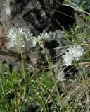 Allium haematochiton