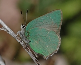 Bramble Green Hairstreak