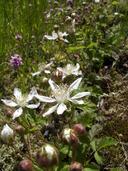 Rubus ursinus