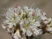 Eriogonum grande var. grande