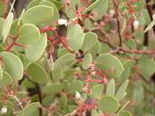 Arctostaphylos manzanita ssp. elegans