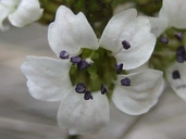 Jepsonia malvifolia