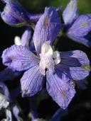 Delphinium variegatum ssp. thornei