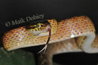 Cross-barred Tree Snake