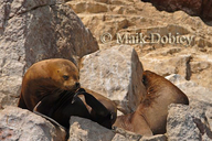 Southamerican Sea Lion