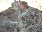 Xylorhiza tortifolia var. tortifolia