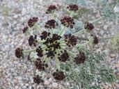 Lomatium mohavense