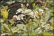 Rubus fruticosus-agg