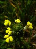 Castilleja rubicundula ssp. lithospermoides