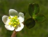 Ranunculus lobbii