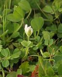Trifolium ornithopodioides