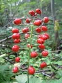 Actaea rubra ssp. rubra