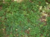 Amphicarpaea bracteata