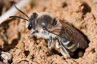 Colletes inaequalis