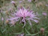 Centaurea biebersteinii