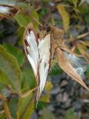 Cynanchum rossicum