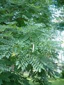 Gymnocladus dioicus