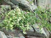 Lathyrus japonicus var. maritimus