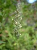 Muhlenbergia glomerata (Willd.) Trin muhlenbergie agglomérée [Spiked muhly]