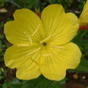 Oenothera parviflora