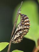 Euphydryas chalcedona