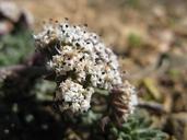 Lomatium nevadense var. parishii