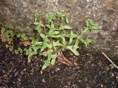 Valerianella carinata