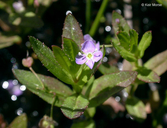 Veronica scutellata