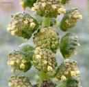 Ambrosia chamissonis