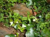 Stellaria neglecta