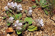 Phacelia congdonii