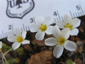 Linanthus killipii