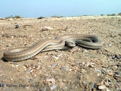 "also called Schokari Sand Racer<br /><strong>Location:</strong> Khnifiss lagoon (Morocco)<br /><strong>Author:</strong> <a href=""http://calphotos.berkeley.edu/cgi/photographer_query?where-name_full=Stefano+Doglio&one=T"">Stefano Doglio</a>"