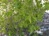 Populus fremontii