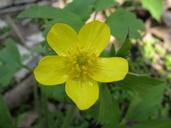 Ranunculus hispidus var. caricetorum
