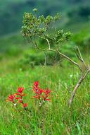 Castilleja affinis