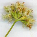 Eriogonum fasciculatum var. fasciculatum
