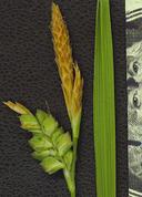 Carex triquetra