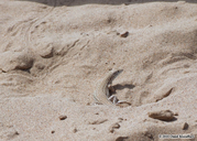 "<strong>Location:</strong> Sand dunes near Dezful (Dezfoul, Khouzestan, Iran, Islamic Republic of)<br /><strong>Author:</strong> <a href=""http://calphotos.berkeley.edu/cgi/photographer_query?where-name_full=Omid+Mozaffari&one=T"">Omid Mozaffari</a>"