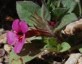 Diplacus bigelovii var. cuspidatus
