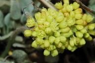 Eriogonum diclinum