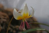 Erythronium sp.