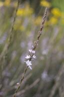 Verbena menthifolia