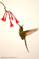 Long Tailed Hummingbird