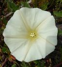 Calystegia subacaulis ssp. subacaulis