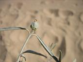 Croton wigginsii